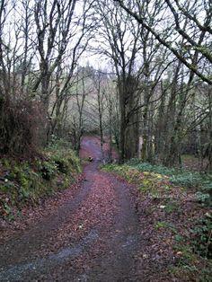 Senda por el bosque hacia la Iglesia de San Alberte. #CaminodeSantiago del Norte. Concello de #Guitiriz, #Lugo