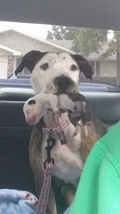 surprise puppy that was born to a pitbull that had been abused, starved, and thrown from a car before being rescued. It's a miracle the puppy survived and managed a clean bill of health. Here's a pic of the protective mam