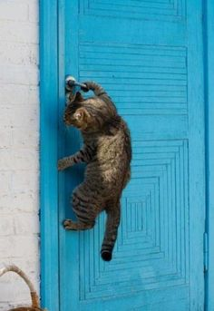 Tabby cat opening a blue door