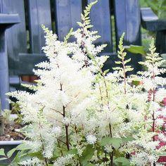 Prachtspiere weiß - 1 pflanze günstig online kaufen, bestellen Sie schnell und bequem online