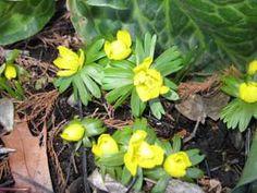 Eranthis hyemailis 'winter aconite'