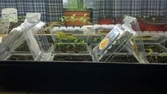 Use recycled berry containers as mini greenhouses to start your seeds indoors!