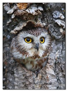 Saw-Whet Owl, by Gerry Sibell