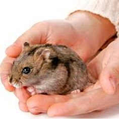 The smallest species of dwarf hamsters found in the world, the Roborovski hamsters are among the cutest rodents, which are also popular as pets. PetPonder will give you some Roborovski hamster facts. Roborovski Hamster, Pet Care, Animal Pictures, Cute Puppies, Your Pet, Dog Cat, Beautiful Pictures, Take That
