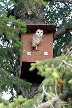 Make And Erect A Barn Owl Nestbox - Barn Owls are great for rodent control. The link to the instructions is at the bottom of the article. Owl Nest Box, Owl Box, Bird House Kits, Owl House, Bird Boxes, Nesting Boxes, Backyard Birds, Garden Pests, Outdoor Projects