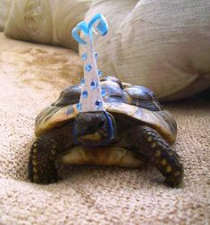 So this tortoise celebrated its birthday today… The fact that this tortoise is wearing a party hat is extremely impressive.