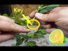 How to Grow LEMON Tree from Cuttings to Clone Fruit Trees - YouTube