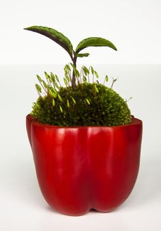 ikebana:2013/03/31-3-a(Red paprika & moss &Ardisia japonica/ヤブコウジ)