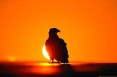 Google Image Result for http://www.alaska-in-pictures.com/data/media/4/bald-eagle-sunset-silhouette_6648.jpg