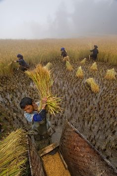 14 Dirty Photos That Show Why Soil Matters Picture of a family harvesting rice in China