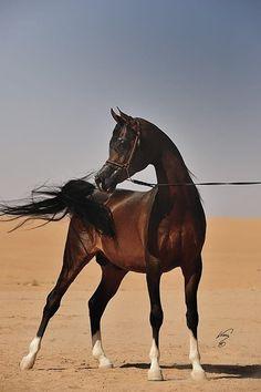Kunar T (Nadir I {Neman x Neschi by Kilimandscharo} x Kupona {Kupol x Rigona by Abakan} 2005 dark bay Straight Russian stallion bred by L. Beautiful Arabian Horses, Most Beautiful Horses, Majestic Horse, All The Pretty Horses, Animals Beautiful, Simply Beautiful, Arabic Horse, Arabian Stallions, Arabian Beauty