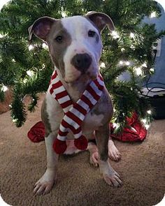 Salem, OR - American Pit Bull Terrier Mix. Meet Gia, a dog for adoption. http://www.adoptapet.com/pet/17378057-salem-oregon-american-pit-bull-terrier-mix