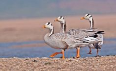 Bar-headed Geese. Chambal River, India. By Sonal Patil
