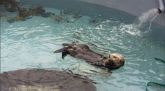 Toola was a very special sea otter. She was one of the Aquarium's surrogate moms and would ultimately raise thirteen abandoned pups over her lifetime. Let us know what you think about Otter 501: A webStory by completing our short survey at http://www.surveymonkey.com/s/LF9DGTM.