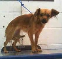 01/25/15-ABBY (A1675346)I am a female tan and black Terrier.  The shelter staff think I am about 1 year old.  I was found as a stray and I may be available for adoption on 01/30/2015. — hier: Miami Dade County Animal Services. https://www.facebook.com/urgentdogsofmiami/photos/pb.191859757515102.-2207520000.1422192644./916695885031482/?type=3&theater