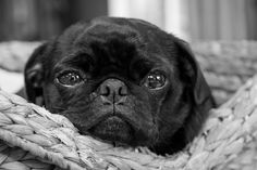 """Check out our internet site for even more info on """"black pugs"""". It is an exceptional place to learn more. Black Pug Puppies, Bulldog Puppies, Dogs And Puppies, Terrier Puppies, Boston Terrier, Doggies, Baby Pugs, Pug Pictures, Cute Pugs"""