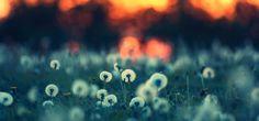 Dandelions At Sunset