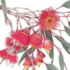 Royal Botanic Garden - What's On Australian Wildflowers, Australian Native Flowers, Australian Painting, Australian Art, Watercolour, Watercolor Paintings, Floral Paintings, Botanical Drawings, Botanical Prints