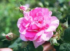 Empresse Josephinen kukka