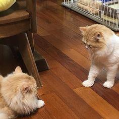 おっとりとのと、ワールドを作り出すもんちゃんのにらみ合い🙀💦 ソファから見守ってると👀 まーったく動かず(笑) そして目を離した瞬間どっか行ってました💕 1匹サカリがくるとケンカばかりになるから見とかな危険です‼️ でも1番起こってるのはこかまちゃんの小鉄‼️叫びたいながら走り抜けて行きます🙀なんでだろ⁉️ #CAT#CATS#cat#cat#catstagram #ragamuffin #ragamuffincat #ragamuffins #猫#ネコ#愛猫#ねこ#ねこぶ #ねこ様 #ねこら部 #ねこすたぐらむ #ねこさま #ねこ好き #ねこもふ #ねこスタグラム #ラガマフィン#可愛い#にらみあい#との#とんちゃん#紋次郎#もんちゃん#こてつ#てつ#マンチカン#munchkin