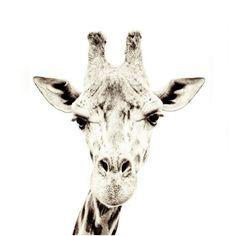 WALLPAPER: giraffe