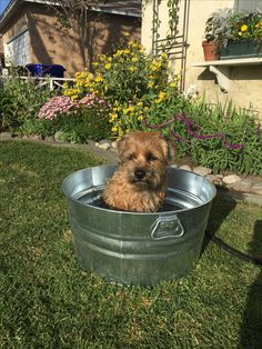 Jack the border terrier in a bucket.