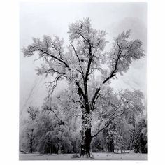 Ansel Adams Tree 129311796778422651_d09dd0bc- ...