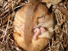Couldn't resist this Dormouse pinned by The Woodland Trust! Animals That Hibernate, Animals And Pets, Baby Animals, Funny Animals, Cute Animals, Beautiful Creatures, Animals Beautiful, Hamsters, Rodents