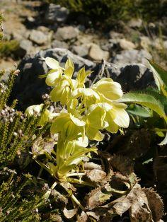 https://flic.kr/p/eHBnnr   Helleborus lividus subsp. corsicus (plant)   <i>Helleborus lividus</i> subsp. <i>corsicus</i>