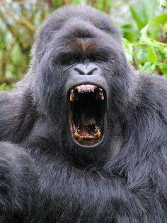 Primates, Mammals, Silverback Gorilla, Chimpanzee, Animals Beautiful, Cute Animals, Gorilla Tattoo, Mountain Gorilla, Tattoos