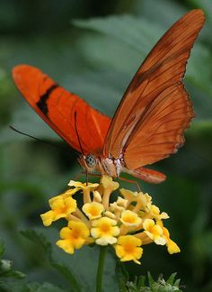 Flickring #butterfly