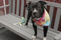 SAFE❤️❤️ 8/5/16 PLEASE LOVE AND KEEP HER THIS TIME❤️ RETURNED 8/2/16 PET CONFL!! SAFE❤️❤️ 5/8/16 Manhattan Center MILANI – A1071517 FEMALE, BLACK / WHITE, PIT BULL MIX, 1 yr, 6 mos STRAY – STRAY WAIT, NO HOLD Reason STRAY Intake condition EXAM REQ Intake Date 04/26/2016, From NY 10452, DueOut Date04/29/2016,