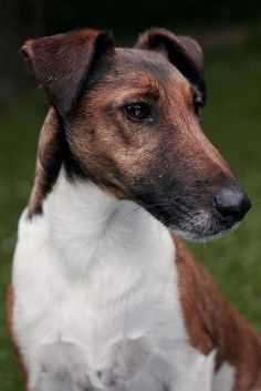 by Snurring, via Flickr. The Smooth Fox Terrier originates from England and was bred originally for hunting rats and mice and fox bolting - it was small enough to enter a fox-earth or drain, yet large enough to run with the hounds. It's origins can be dated back to the 1700's.