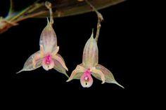Lepanthes pubicaulis