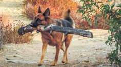 German Shepherd Dog. OUR FEMALE DOG,LOVES TO CARRY TREE LIMBS.:):):)
