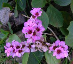 Nombre latín: Bergenia cordifolia  Nombre común: Bergenia o Lengua de Vaca  Planta tapizante, perenne con cierto interés por la sombra. Si tiene humedad aguanta el pleno sol.