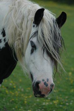 Irish Cob with eye-liner markings. Jumping Horses, Big Horses, Pretty Horses, Horse Love, Beautiful Horses, Animals And Pets, Cute Animals, Horse Markings, Gypsy Horse