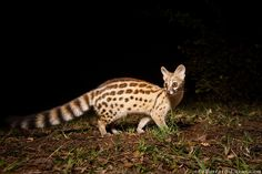 Large-spotted Genet, photographed with a Camtraptions PIR motion sensor in Zambia.