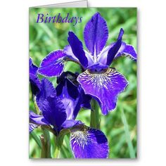 ==> consumer reviews          	Iris Floral Birthday Greeting Card           	Iris Floral Birthday Greeting Card we are given they also recommend where is the best to buyReview          	Iris Floral Birthday Greeting Card Review on the This website by click the button below...Cleck See More >>> http://www.zazzle.com/iris_floral_birthday_greeting_card-137549636031287368?rf=238627982471231924&zbar=1&tc=terrest