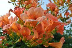 Ultimissime dall'orto: #Bignonia #Campis resistente e generosa tropicale di campagna #gardening #garden #Summer #flowers #climbingplants