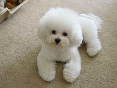 Rusty is half Bichon Frise. This is what one looks like.