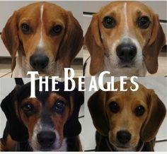 "I'm a goner for a Beagle's ""AhRoooo"""