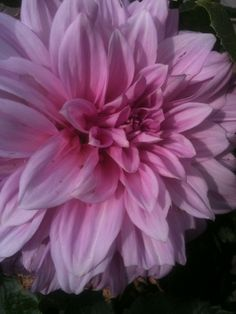 Dinner Plate Dahlia- Flowers are the size of my face and they make great cutting flowers.