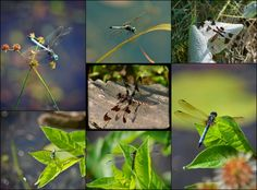 A collage of dragonfly photos.... I love these little gems of nature!