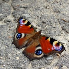 ☙ butterfly ❧