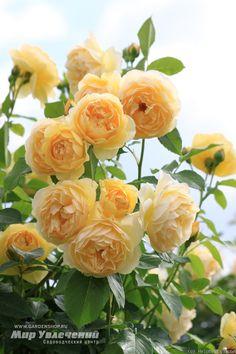 Graham Thomas Rose Photo More - Gardening Today Beautiful Rose Flowers, Amazing Flowers, Graham Thomas Rose, Roses Only, Cottage Garden Design, David Austin Roses, Garden Party Wedding, Rose Photos, English Roses