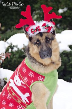 holiday, german shepherd, christmas, snow, dog, sweater, reindeer, photography