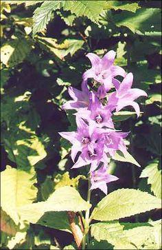 Званочкi / Колокольчик / Bell-flower / Campanula