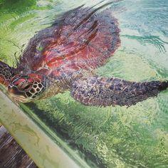 Kelonia  SaintLeu : ... lareunion #974 #kelonia #france #world #turtle #saintleu by neofox666