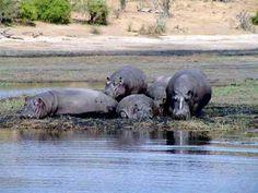 Hipopotamy zamieszkują rzeki i jeziora w Afryce na południe od Sahary, na tym obszarze występują do wysokości 2000 m n.p.m. Prowadzą ziemnowodny tryb życia. W ciągu dnia najczęściej pozostają w wodzie. Aktywne są dopiero o zmierzchu i nocą, skubią wtedy trawę na łąkach w pobliżu wody, zjadają także rośliny wodne.